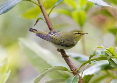 Wood Warbler - Flora & Fauna, Aberdovey Tales