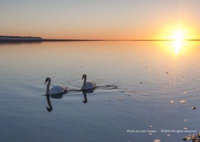 Swans on the Dyfi estuary, Aberdovey - Photo by Josh Cooper ©2020